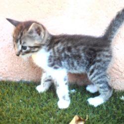 gatitos atigrados (1)